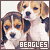 Dogs: Beagles